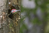 Washington  Male Pileated Woodpecker at Work Holing Out Nest in an Alder Snag