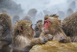 Japanese Macaques (Snow Monkeys) (Macata Fuscata)  Japan