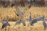 Sandhill Cranes in the Corn Fields  Bosque Del Apache National Wildlife Refuge