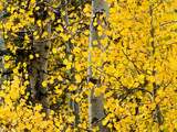 USA  California  Eastern Sierra Aspen Trees During Autumn in Lundy Canyon