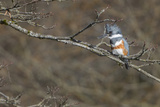 Washington  Female Belted Kingfisher on a Perch