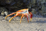 Sally Lightfoot Crab on Floreana Island  Galapagos Islands