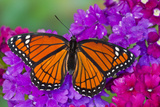 Viceroy Butterfly That Mimics the Monarch Butterfly