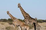 Southern Giraffe  Central Kalahari National Park  Botswana
