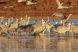 Sandhill Cranes Morning Liftoff  Bosque Del Apache National Wildlife Refuge  New Mexico
