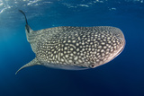 Whale Shark  Cenderawasih Bay  West Papua  Indonesia