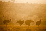 Ostriches (Struthio Camelus) at Sunset  Kenya  East Africa  Africa