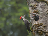 Washington  Female Pileated Woodpecker at Nest in Snag  with Begging Chicks