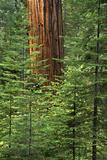 USA  California  Yosemite National Park Giant Sequoia in Tuolumne Grove