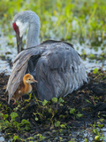Sandhill Crane on Nest with Colt under Wing  Florida