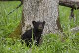 USA  Tennessee  Great Smoky Mountains National Park Black Bear Cub Next to Tree