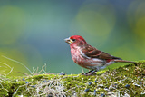 Purple Finch Male