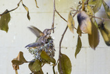 Washington  Rufous Hummingbird Chicks in Nest Practice Flapping in Preparation of Fledging