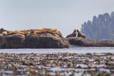 Washington  Bull Stellar Sea Lion Joust on Offshore Rock Near Harem  Off Tatoosh Island