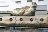 Washington  Poulsbo Harbor Seal Haul Out on Dock Acclimated to Boat Traffic