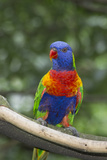 Rainbow Lorikeet Native to Australia