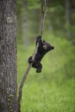 USA  Tennessee Black Bear Cub Playing on Tree Limb