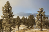 USA, Colorado, Pike National Forest. Frost on Ponderosa Pine Trees Papier Photo par Jaynes Gallery