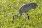 Wild Sandhill Crane Feeding  Florida