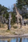 Southern Giraffe  Khwai Concession  Okavango Delta  Botswana