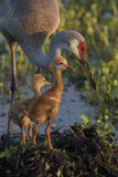 Sandhill Crane with Both Colts on Nest  Florida