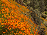 USA  California  El Portal California Poppies Along Hite Cove Trail Near Yosemite National Park
