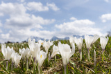 White Spring Crocus in Full Bloom in the Eastern Alps Germany  Bavaria
