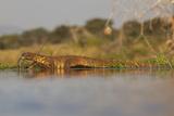 Water Monitor (Leguaan) (Varanus Niloticus)  Zimanga Private Game Reserve  Kwazulu-Natal  Africa