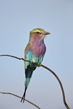 Lilac-Breasted Roller (Coracias Caudata)  Kruger National Park  South Africa  Africa