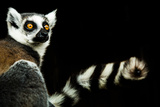 Lemur (Lemuroidea)  United Kingdom  Europe