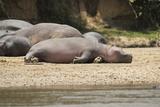 Hippopotamus  Queen Elizabeth National Park  Uganda  Africa