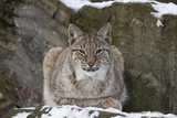 Northern Lynx (Lynx Lynx Lynx)  Captive  Highland Wildlife Park  Kingussie  Scotland  UK