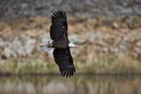 Bald Eagle (Haliaeetus Leucocephalus) in Flight  Yellowstone National Park  Wyoming  USA