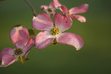 USA  Oregon  Keizer  Flowering Dogwood in Neighborhood