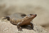 Giant Plated Lizard (Gerrhosaurus Validus)  Kruger National Park  South Africa  Africa