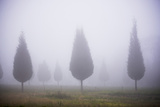 Misty Poplar Tree Landscape  Hacienda Zuleta  Imbabura  Ecuador  South America