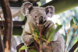 Beautiful and Awake Koala  Queensland  Australia  Pacific