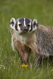 American Badger (Taxidea Taxus)  Yellowstone National Park  Wyoming  United States of America