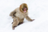 Japanese Macaque (Snow Monkey) (Macata Fuscata)  Japan