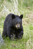 Black Bear (Ursus Americanus)  Second Year Cub  Yellowstone National Park  Wyoming  USA