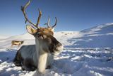 Reindeer (Rangifer Tarandus) Female  Cairngorms National Park  Scotland  United Kingdom  Europe