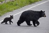 Black Bear (Ursus Americanus) Sow and Cub-Of-The-Year Crossing the Road  Wyoming