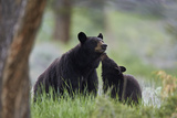 Black Bear (Ursus Americanus)  Sow and Yearling Cub  Yellowstone National Park  Wyoming  USA