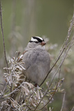 White-Crowned Sparrow (Zonotrichia Leucophrys)  Yellowstone National Park  Wyoming  USA