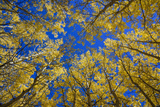 Aspens in Fall (Populus Tremuloides)  Grand Tetons National Park  Wyoming  United States of America