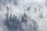 Evergreen Trees in Fog  Yellowstone National Park  Wyoming  United States of America  North America