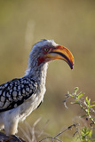 Southern Yellow-Billed Hornbill (Tockus Leucomelas)  Kruger National Park  South Africa  Africa
