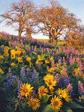 Washington  Balsamroot  Lupine  and Oaks on Hillside
