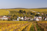 Autumn Color in the Vineyards Surrounding Bue  Sancerre  Cher  Centre  France  Europe