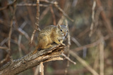 Tree Squirrel (Smith's Bush Squirrel) (Yellow-Footed Squirrel) (Paraxerus Cepapi)  Africa